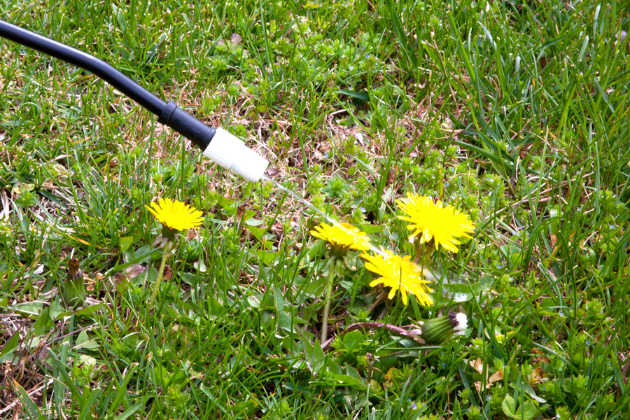 Spraying Dandelions - Idaho Falls Lawn Care